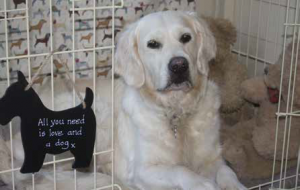 Golden Retriever Phoebe took three months to crate-train when she was 9 months old, and now enjoys her crate rest