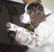 English Springer Spaniel Oscar lets himself into his crate for a nap